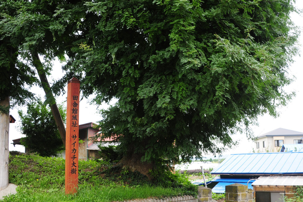 田舎舘城址にあるサイカチ大樹