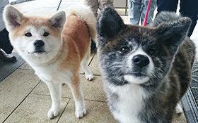 秋田犬によるお出迎えを行います